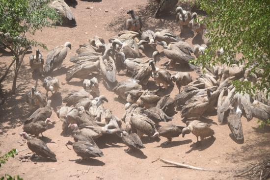 Victoria Falls Safari Club: Daily vulture feeding