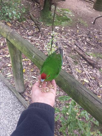 Otorohanga, Νέα Ζηλανδία: hand feeding birds