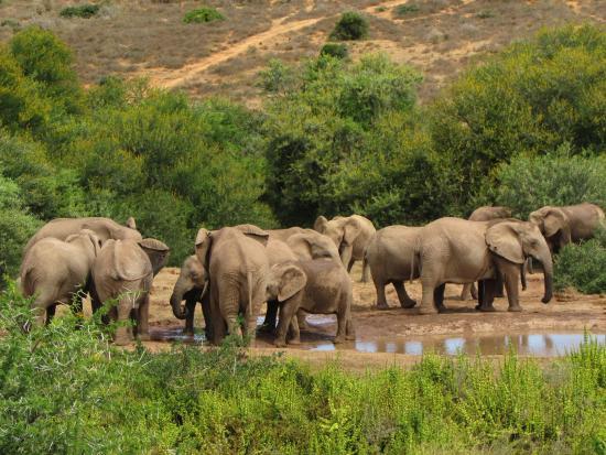 Addo Elephant National Park, Sudafrica: Herd of elephants at the waterhole