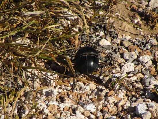 Addo Elephant National Park, Sudafrica: Wingless dung beetle