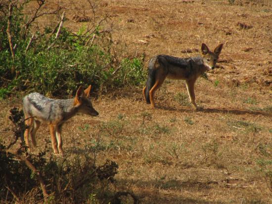 Addo Elephant National Park, Sudáfrica: Jackals
