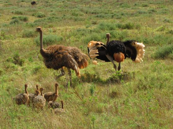 Addo Elephant National Park, Sudáfrica: Scene from an ostrich family life