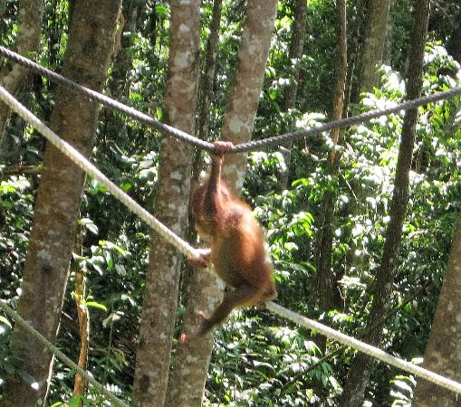 Shangri-La's Orangutan Care Project: One of the young ones at play