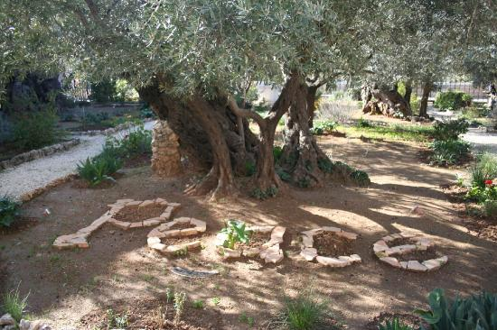 The Garden of Gethsemane Picture of Tal Megged Tour Guide in