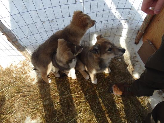Sun Peaks, Canadá: 3 of the 4 beautiful puppies