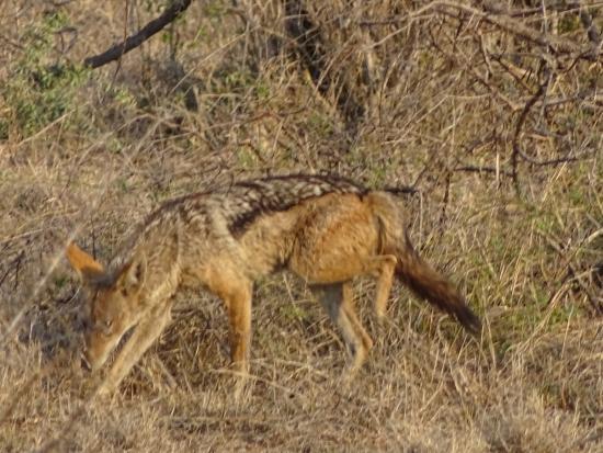 Parque Nacional Kruger, Sudáfrica: Black-backed Jackal