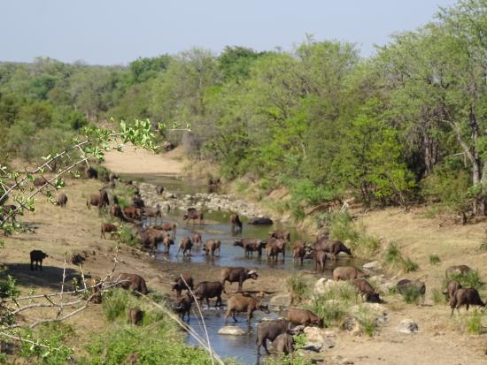 Parque Nacional Kruger, Sudáfrica: herd Buffalo