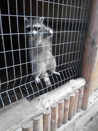 Зоопарк Сафари: Енот