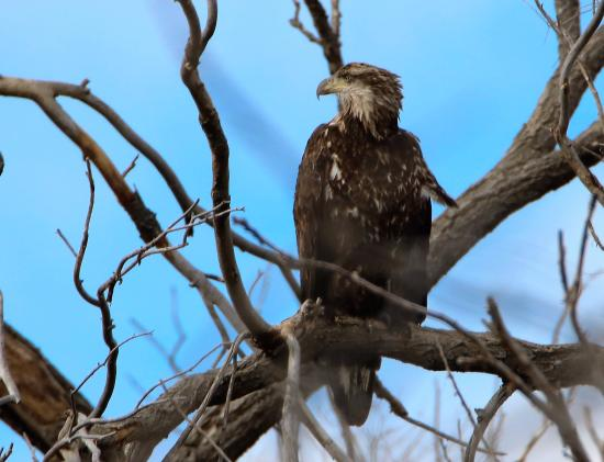 Maxwell, NM: Golden eagle