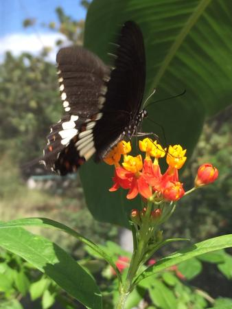 Quartier D'Orleans, St. Maarten: One of my favorite butterflies
