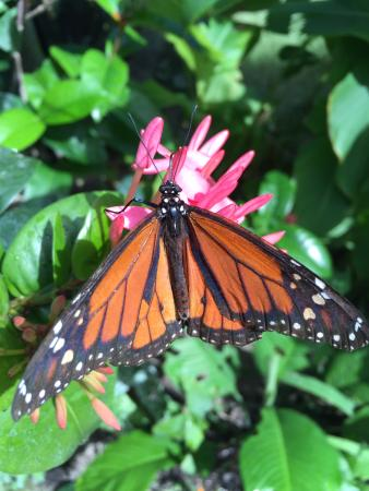 Quartier D'Orleans, St. Maarten: The monarch butterfly