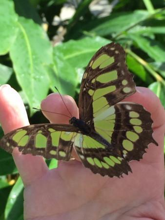 Quartier D'Orleans, St. Maarten: So many beautiful butterflies