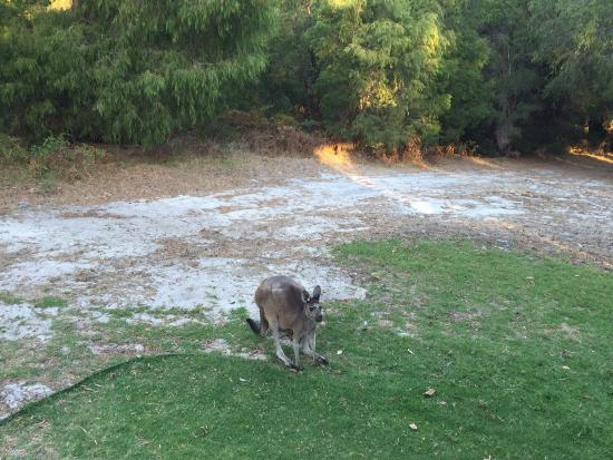 Acacia Chalets Margaret River: Kangaroos coming for a visit