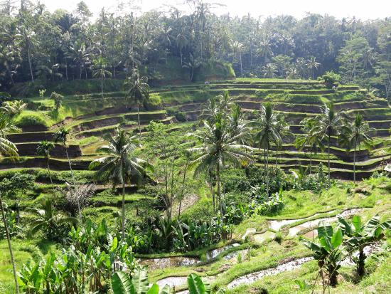 Agus Bali Private Tours: Tegalallang rice terraces