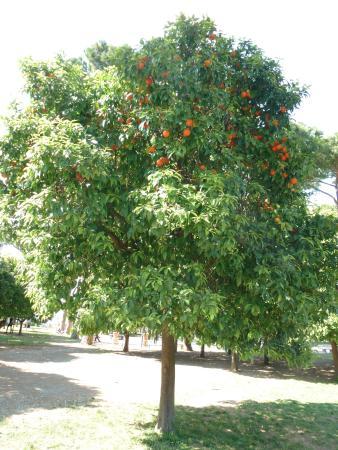Aventine Hill: Апельсиновое дерево на Авентинском холме