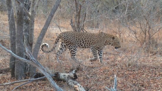Hoedspruit, Zuid-Afrika: Leopardo