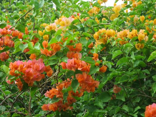 Frederiksted, St Croix: This was actually a closely planted hedge, flowering varied from red to yellow to orange