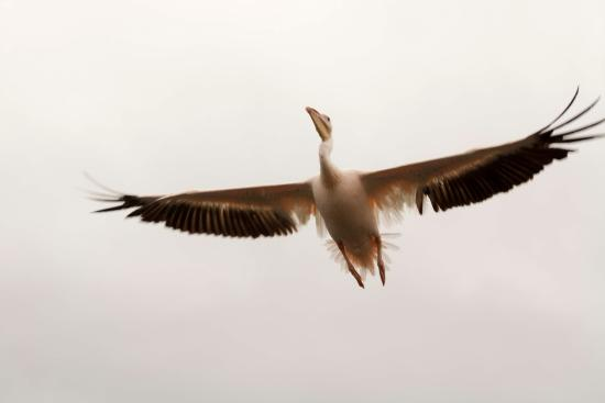 Walvis Bay, Namibia: Pelican flying next to the boat