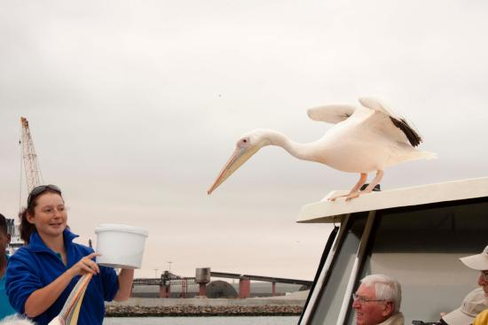 Walvis Bay, Namibia: Pelicans waiting for their fish