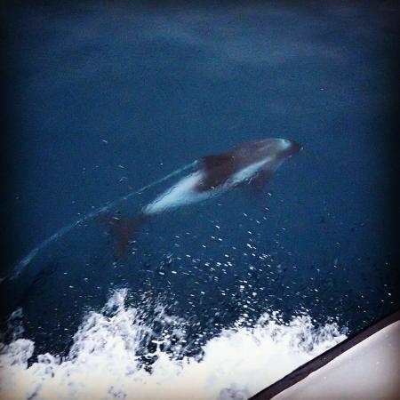 Grundarfjorour, ไอซ์แลนด์: White beaked Dolphins