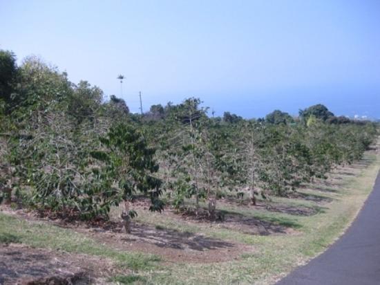 Holualoa, HI: UCCハワイコナコーヒー内