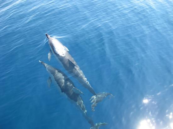 Город Скиатос, Греция: dolphins on Aegeo_b