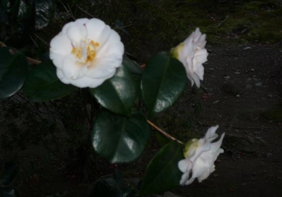 Tenryuji Temple: 紅葉だけでなく四季の花が咲きます 椿の花