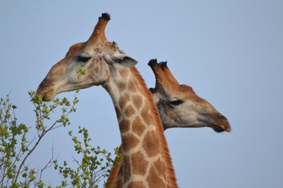 Marloth Park, Sudáfrica: Loving giraffe
