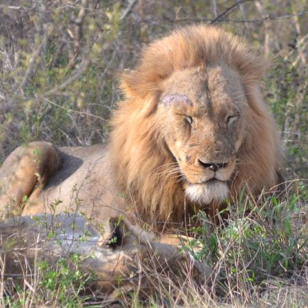 Марлот-Парк, Южная Африка: Lion - doing what he does best - sleeping