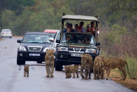 Marloth Park, Sydafrika: Lions infront of Kruger Pride