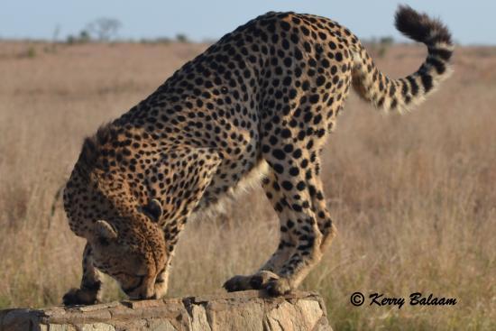Marloth Park, Sydafrika: Cheetah