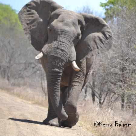 Marloth Park, Sydafrika: Elephant
