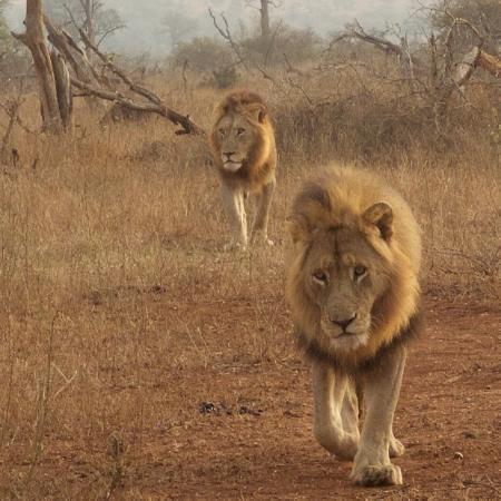 Marloth Park, Sudáfrica: Crocodile Bridge lions, in the heart of Kruger Pride Safaris' territory.