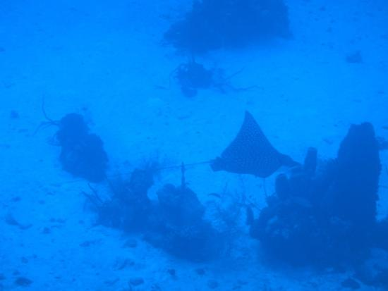West End, Honduras: An Eagle Stingray that we saw while diving
