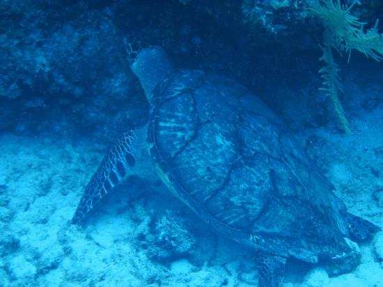 West End, Honduras: The turtle that we got nice and close to while diving!
