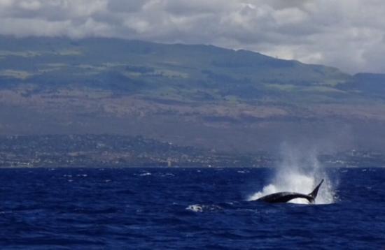 Frogman Whale Watch: Humpback breaching