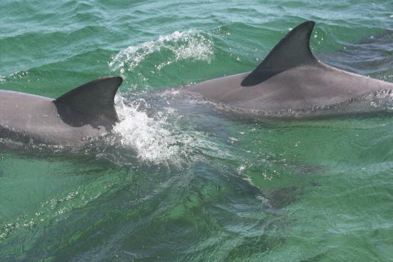 Kangaroo Island Marine Adventures: de dolfijnen