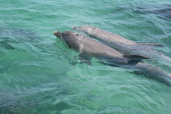 Kingscote, Australia: de dolfijnen