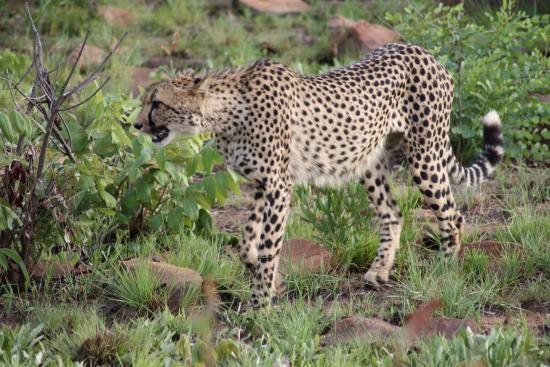Waterberg, Sudáfrica: Cheetah tijdens de eerste game drive