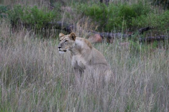 Waterberg, Sudáfrica: Lioness tijdens de aller laatste game drive!