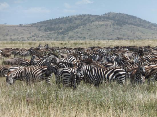 East Africa Adventure Tours and Safaris - Day Tours: Serengeti in July