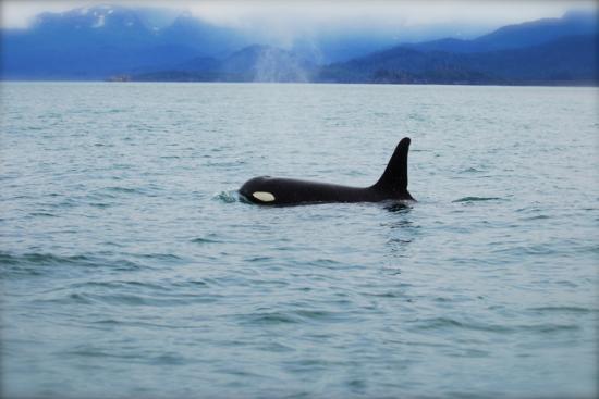 Halibut Cove, AK: Orca