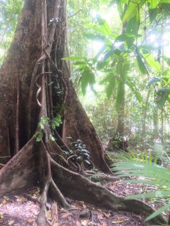 Daintree Region, Australië: Ancient trees