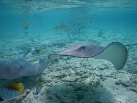 Maohi Nui: Rays and Black Tip Sharks