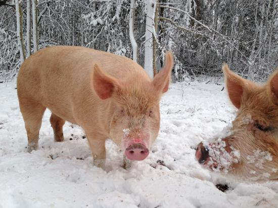 Bedeque, Kanada: Pigs in the snow