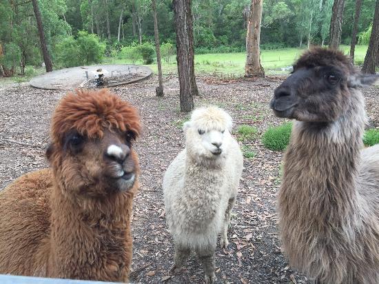 Windsor, Australia: Alpacas