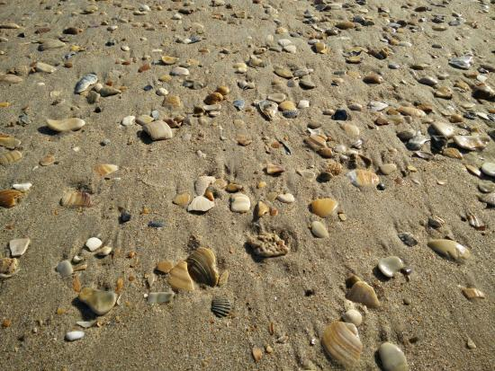 Hatteras Island, Kuzey Carolina: so many shells, about 30-40 min walk south of the most southerly paved parking lot.