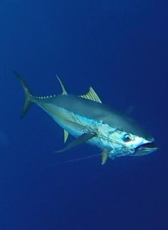 Dragin Fly Fishing Charters: Yellowfin