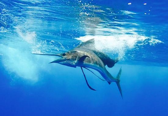 Dragin Fly Fishing Charters: Sailfish