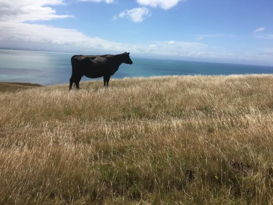 Te Awanga, Nueva Zelanda: 安格斯牛